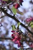 El árbol floreciente en la primavera imagenes de archivo