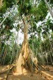 El árbol gigante famoso en Uthai Thani, Tailandia imágenes de archivo libres de regalías