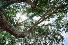 El árbol grande Imágenes de archivo libres de regalías