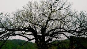 El árbol grande adentro Shirakawa-va Japón Foto de archivo