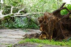 El árbol grande cae abajo después de huracán Imagenes de archivo