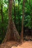El árbol grande con las raíces crece en la selva Fotografía de archivo