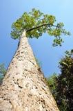 El árbol grande en bosque conservado Foto de archivo libre de regalías