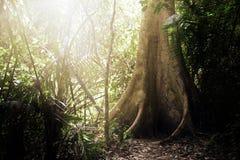 El árbol grande en bosque profundo con el fondo del rayo del brillo del sol Fotos de archivo