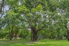 El árbol grande en jardín Imágenes de archivo libres de regalías