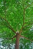 El árbol grande en un jardín Foto de archivo libre de regalías