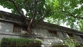 el árbol grande 4K con las hojas verdes crece en la ventana crackes de los viejos de una pizca de la casa almacen de video