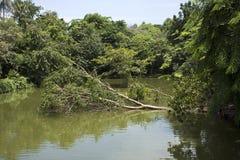 El árbol grande roto cae abajo en el lago de Sri Nakhon Khuean Khan Park Imágenes de archivo libres de regalías