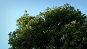 El árbol grande se sacude en viento