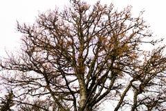El árbol grande viejo en fondo gris del cielo Fotos de archivo