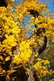 El árbol hermoso con amarillo del otoño se va contra el cielo azul en Fal Foto de archivo libre de regalías