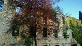 El árbol hermoso con rojo brillante se va en un fondo del edificio viejo abandonado destruido Imagenes de archivo