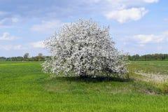 El árbol hermoso crece en el campo solamente Foto de archivo libre de regalías