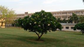 El árbol hermoso del chafa en la fragancia de extensión de la mañana imagen de archivo