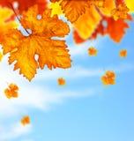 El árbol hermoso del otoño sale de la frontera del fondo Fotografía de archivo