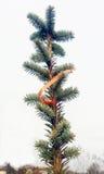 El árbol imperecedero del detalle Abies alba Fotos de archivo libres de regalías