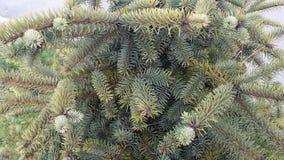 El árbol imperecedero del detalle Abies alba Imagen de archivo