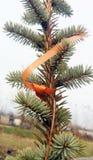 El árbol imperecedero del detalle Abies alba Foto de archivo