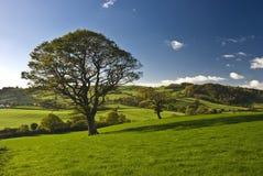 El árbol inglés Fotografía de archivo libre de regalías