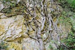 El árbol ingrained en la roca Imagen de archivo