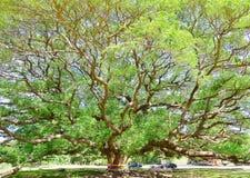 El árbol más grande de la vaina de mono Foto de archivo libre de regalías