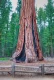 El árbol más grande de los mundos - general Sherman Fotografía de archivo libre de regalías