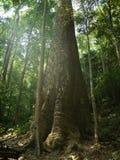 El árbol más grande de Tailandia Fotos de archivo