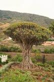 El árbol más viejo Fotos de archivo