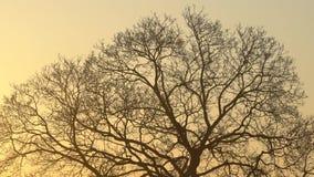 El árbol majestuoso de la silueta con puesta del sol idílica en la oscuridad y el fondo claro del cielo Silueta de las ramas de á almacen de metraje de vídeo
