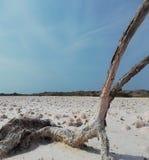 El ?rbol muere en la sal seca foto de archivo libre de regalías