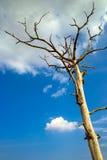 El árbol muerto en el blanco del cielo azul se nubla Imagen de archivo libre de regalías