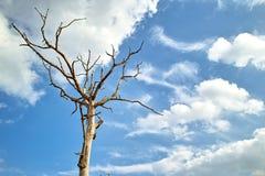 El árbol muerto en el blanco del cielo azul se nubla Foto de archivo libre de regalías