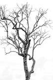 El árbol murió blanco - negro imagen de archivo