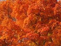 El árbol otoñal anaranjado se va a mediados de noviembre imagen de archivo libre de regalías