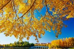 El árbol otoñal con las hojas de oro Imagen de archivo libre de regalías