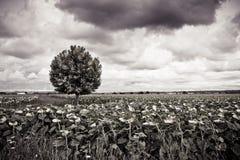 El árbol plano aislado en los girasoles coloca antes de un temporal de lluvia Imagen de archivo