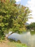 El árbol por el lago Fotografía de archivo libre de regalías