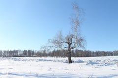 El árbol quebrado en nieve Fotografía de archivo libre de regalías
