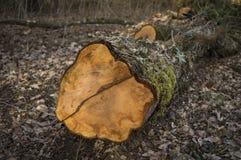 El árbol redujo, se cierra para arriba Foto de archivo libre de regalías