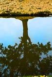El árbol reflejó en el agua, con las hojas de la caída Fotos de archivo libres de regalías