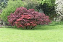 El árbol rojo en primavera fotografía de archivo