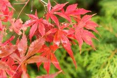 El árbol rojo y amarillo deja caer abajo en la tierra en otoño Fotos de archivo libres de regalías