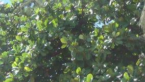 El árbol se sacude en el viento el árbol tiene las hojas verdes grandes y semillas con sabor a fruta del verde almacen de video