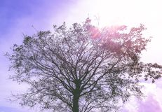 El árbol solo en la plantación de té Fotos de archivo