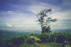 El árbol solo en la plantación de té Imágenes de archivo libres de regalías