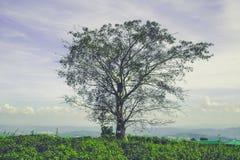 El árbol solo en la plantación de té Fotografía de archivo