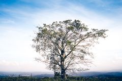 El árbol solo en la plantación de té Foto de archivo libre de regalías