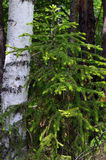 El árbol spruce joven creció cerca de los abedules en el bosque Imagen de archivo libre de regalías