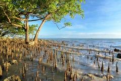 El árbol tropical del mangle en luz de oro como marea sube Foto de archivo libre de regalías