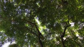 El árbol verde del sauce se está moviendo en el viento en fondo azul de cielo nublado almacen de metraje de vídeo